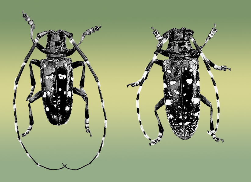 migration of asian longhorn beetles