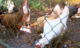 City Officials Discuss New Ordinance For Chickens And Ducks