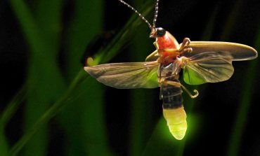 Indiana Senate Votes Unanimously to Make Firefly State Insect