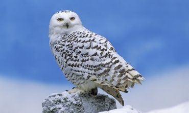 Midwestern States See Influx Of Snowy Owls