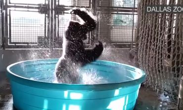 Gorilla Has A Passion For Splashin'